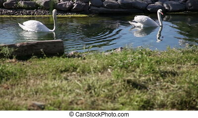 swan 2 - white swan swiming in the lake, shooting Canon 5D...