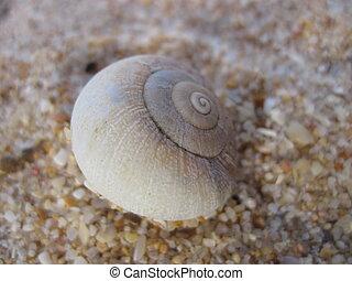 Caracol do campo na praia