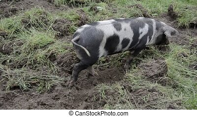 pig searching for food - pig raised on a organic farm is...