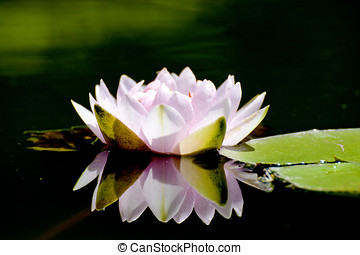 bloom lotus - lotus with leaf and reflected image bloom in...
