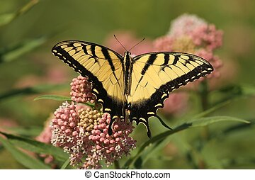 Eastern Tiger Swallowtail - Feeding on a milkweed plant with...