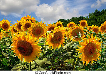 Sunflowers under blue sky - Sunflower heads - Sunflower...
