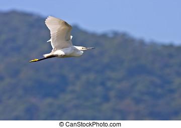 pequeno, Egret, pássaro, Vôo