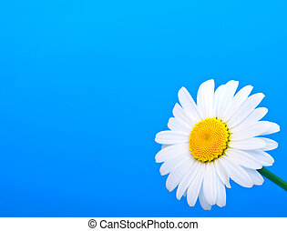 camomile on blue background