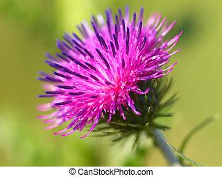 bur thorny flower. (Arctium lappa) on green background