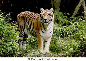 Bengal tiger watching in forest