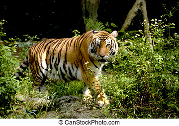 Bengal tiger looking around in forest