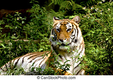 Bengal tiger having a rest in forest