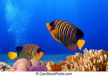 Royal angelfish - Underwater landscape with royal angelfish,...