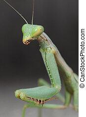 mantis - a portrait of a beautiful mantis