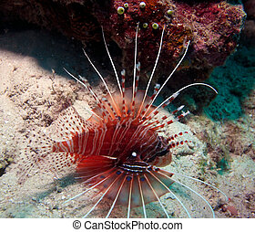 Agressive lion-fish, Ari-Atoll. Maldives