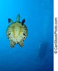 Green turtle, Indonesia - Green turtle, divesite Batu bolong...
