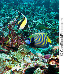 Moorish idol and emperor angelfish