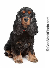 black and tan English cocker spaniel in front of a white...