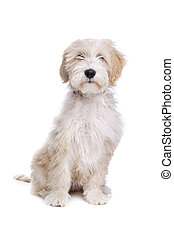 Tibetan Terrier in front of a white background
