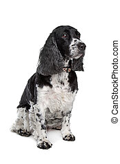 english cocker spaniel - English cocker spaniel in front of...