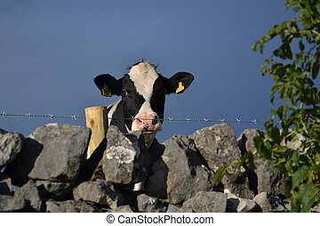 cow looking over wall in a field