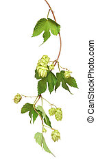 fresh hop branches, isolated on white background