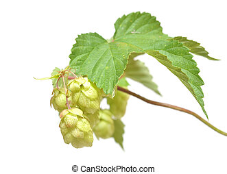 fresh hop branch, isolated on white background