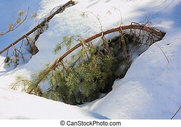 Pine Snow - A small pine bent under weight of snow Winter...