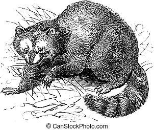 Raccoon or Procyon lotor vintage engraving - Raccoon or...