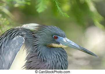 Tri-colored heron - A Tri-colored heron in a Florida swamp