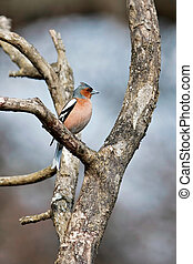Chaffinch singing his heart out