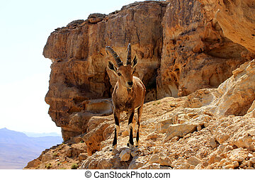 Ibex on the cliff at Ramon Crater in Negev Desert in Israel...