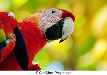 escarlata, papagallo, honduras