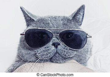 Funny muzzle of gray cat in sunglasses - Funny muzzle of...