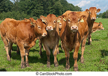limousin calves - bunch of curious young limousine calves in...
