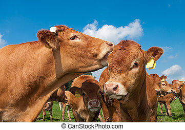limousin cows - limousine cow licking the ears of a young...