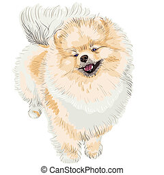 spitz dog smiles - pedigreed dog German Toy Pomeranian is...