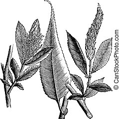 Shining Willow or Salix lucida vintage engraving