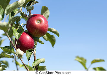 Apple tree with red apples on blue sky background