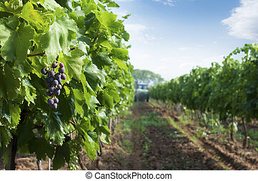 Spraying of vineyards. Grapes and a tractor in the...