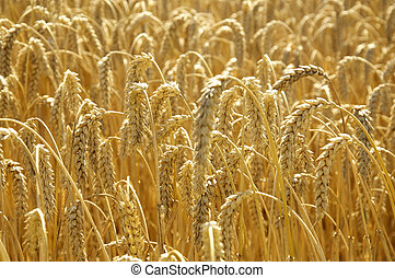 Field of Wheat in the sun - Ripe wheat in the sun, ready to...