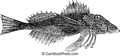 Common Sea Robin or Prionotus carolinus vintage engraving -...