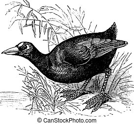 American Coot or Fulica americana vintage engraving -...