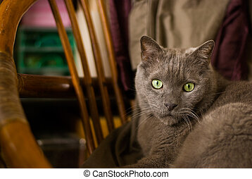 Russian blue cat sit down on old chair