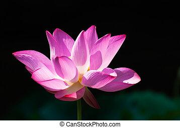 Beautiful pink lotus blossoms under morning sunshine