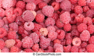 Closeup of raspberries - Lot of raspberries yield panning...