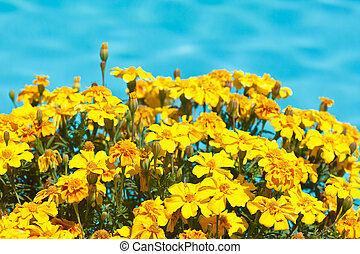 Signet Marigold - Tagetes tenuifolia is a species of plant...