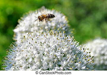 flying bee and blooming onion in the vegetable garden