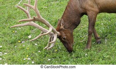 Bull Elk 03 - Bull Elk grazing in a mountain meadow