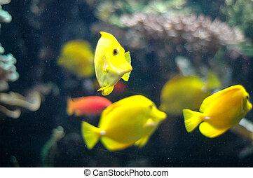 yellowfish swimming underwater