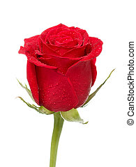 Red Rose Bud - single dark red rose close up isolated on...