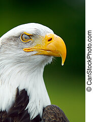 Bald Eagle - Portrait of a Bald Eagle