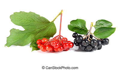 black ashberry and red viburnum isolated on white background...