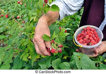 Senior woman picking ripe raspberries - Senior woman picking...